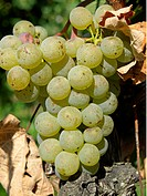 ripe grapes on grapevines winegrowing vineyards on the hill Centgrafenberg near by Burgstadt B³rgstadt Buergstadt and Miltenberg Franconia Germany . -...