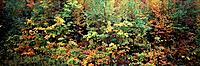 USA, Vermont, Northeast Kingdom, Fall Foliage (Large format sizes available)