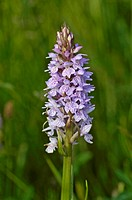 Fuchsknabenkraut (Dactylorhiza fuchsii, Orchis fuchsii) Common Spotted Orchid ° Texel, Holland, Niederlande, Netherlands, Europa, europe - Texel, Texe...