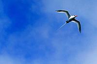 Red-Billed Tropicbird, Phaeton aethereus, Floreana Island, Galapagos Islands, Ecuador.