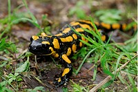 Feuersalamander (Salamandra salamandra) Fire salamander - 19/03/2008