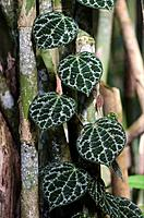 Green leaves.Image taken at Redeem Bamboo Garden, Singai, Sarawak, Malaysia.