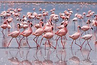 perform of courtship display, flamboyance of Lesser Flamingos, Phoenicopterus minor, NAKURU NATIONAL PARK, KENYA, EAST Africa - NAKURU NATIONAL PARK, ...