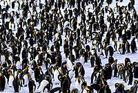 SOUTH GEORGIA ISLAND, ST. ANDREWS BAY, KING PENGUINS, RESTING ON SNOW AFTER RETURNING FROM SEA.