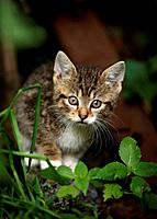 Germany, Baden Wuerttermberg, Kitten walking
