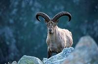 West caucasian tur, Caucasian goat (Mammalia / Artiodactyla / Bovidae / Capra caucasica). Teberda. Russia.