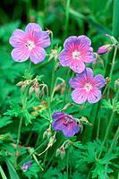 DEU, 2003: Dwarf Cranesbill, Hardy Geranium (Geranium himalayense), variety: Gravetye, flowering.