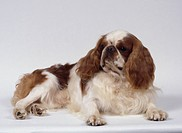 Brown and white King Charles Spaniel dog lying down