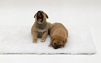 Three week old yawning puppy and sleeping puppy relaxing on white rug