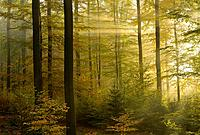 Sunbeams in beech forest in autumn, Fagus sylvatica, Spessart, Bavaria, Germany, Europe.