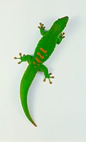 Madagascan Giant Day Gecko (Gekkonidae), bright green with red markings, view from above