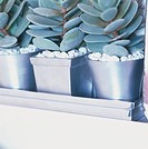 Three succulents planted in silver-sprayed pots, topped with white stone chippings, partial view.