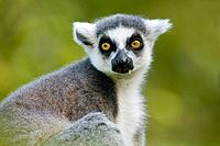 Ring-tailed Lemur (Lemur catta), captive, native to Madagascar