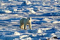 Polar bear (Ursus maritimus), walking on frozen intertidal zone, west coast Hudson Bay, south of Arviat, Nunavut, Canada