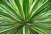 Maguey Lechugilla (Agave angustifolia 'Marginata', Agave angustifolia Marginata), cultivar Marginata