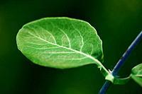 Italian honeysuckle, Italian woodbine, perfoliate honeysuckle (Lonicera caprifolium), leaf