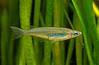 Nigrimas medakafish, black medaka (Oryzias nigrimas), female