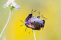 Six Spot Burnet - group on flower head (Zygaena filipendulae)