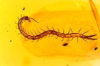 Fossil Centipede in Amber - Dominican Republlic