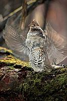 Ruffed Grouse - Male engaged in courtship display (Bonasa umbellus)