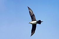 Arctic Skua / Parasitic Jaeger (Pale Phase) - in flight (Stercorarius parasiticus)