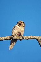 Hawk Owl - With Prey (Surnia ulula)