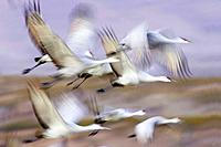 Sandhill Crane - Flock taking off (Grus canadensis)