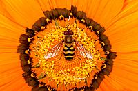 Hoverfly - on Gazania flower (Melascaeava cinctella)