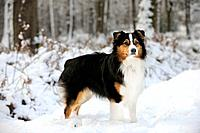 DOG. Australian shepherd standing in the snow