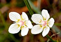 Grass-of-Parnassus - in flower - autumn - Marshy grassland (Parnassia palustris)
