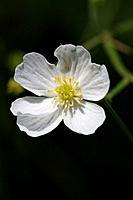 Ranunculus pyrenaeus, Pyrenean buttercup, France.