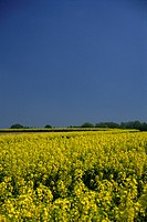 GERMANY, BEI GRUITEN, 04.05.1989, yellow blooming rape fields in front of deciduous forest - bei Gruiten, NRW, Germany, 04/05/1989