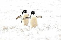 Adelie Penguin, (Pygoscelis adeliae), Antarctica, Devil Island, adult couple walking in snow