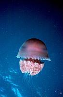 Jellyfish - venomous