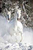 Kladruber. Two gray horses galloping on a snowy meadow