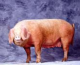 Gascon' Pig