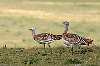 Great Bustards - female (Otis tarda)
