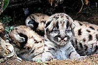 Cougar / Mountain Lion - Babies 3 days old (Puma concolor)