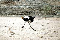 Ostrich - running (Struthio camelus)