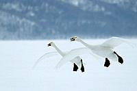 Whooper SWANS - in flight. Wintering on ice lakes (Cygnus cygnus cygnus )