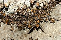 Great Indian Horseshoe Bats - mass hanging at roost, one in flight. (Rhinolophus luctus)