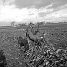 Harvesting sugar beet, Scania, Sweden, 1949.