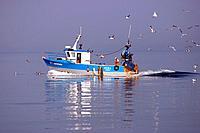 Fishing boat followed by gulls, Gulfe de Morbihan, Britanny, France.