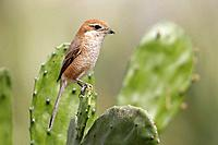 Bull-headed Shrike (Lanius bucephalus) adult female, perched on cactus, Hong Kong, China, January