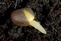 A germinating cabbage seed with root developing with root hairs on soil