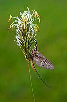 Mayfly (Ephemeroptera), Tyrol, Austria