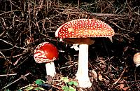 Fly agaric mushrooms (Amanita muscaria). The cap of this poisonous fungus contains the powerful hallucinogenic compounds ibotenic acid and muscimol. I...