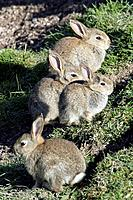 Wild Rabbits - Sitting outside warren (Oryctolagus cuniculus)