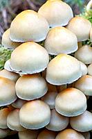 Sulphur / Sulfur Tuft / Clustered Woodlover Fungus - detailed study of caps (Hypholoma fasciculare)