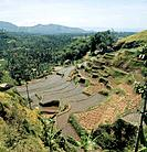 Bali. Terraced rice fields.(Cut edge) Country of Origin: Indonesia. Culture: Balinese. Date/Period: 1982 Place of Origin: Bali. Credit Line: Werner Fo...
